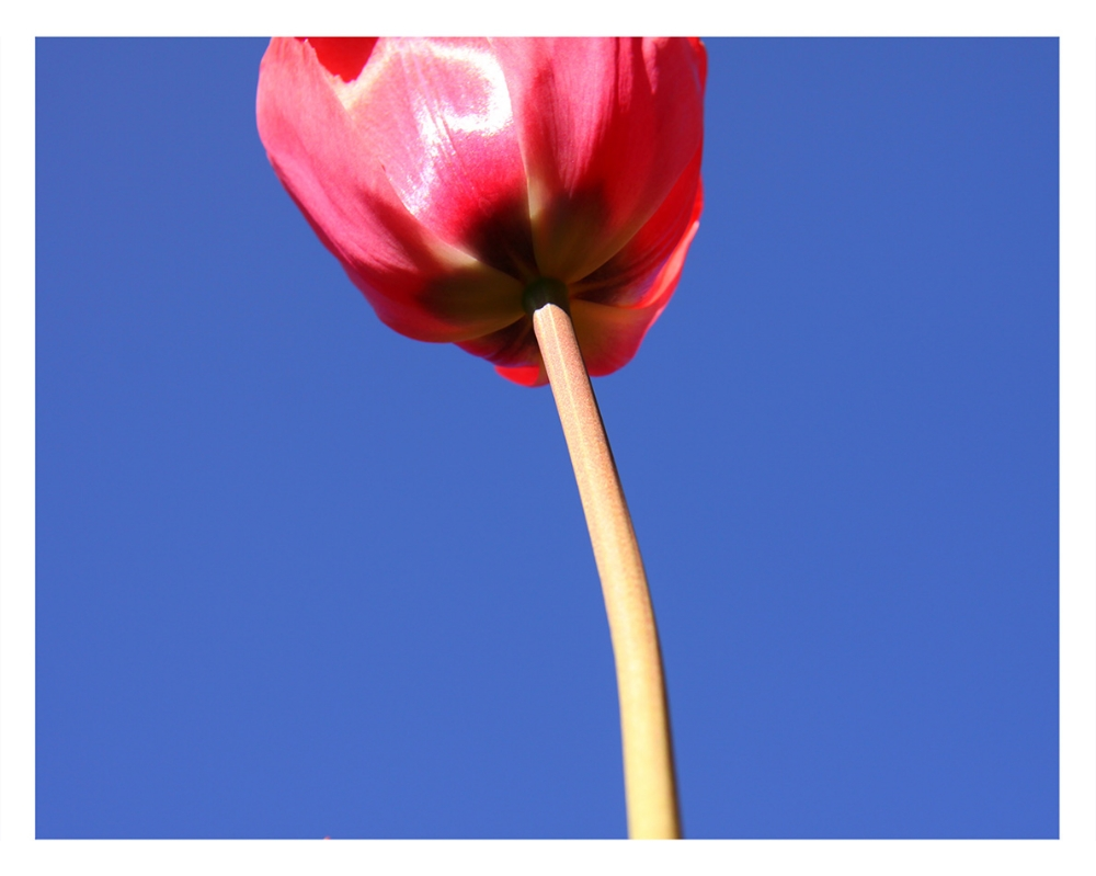 The Pink Tulip  © Bill Blansett; Our Colleagues