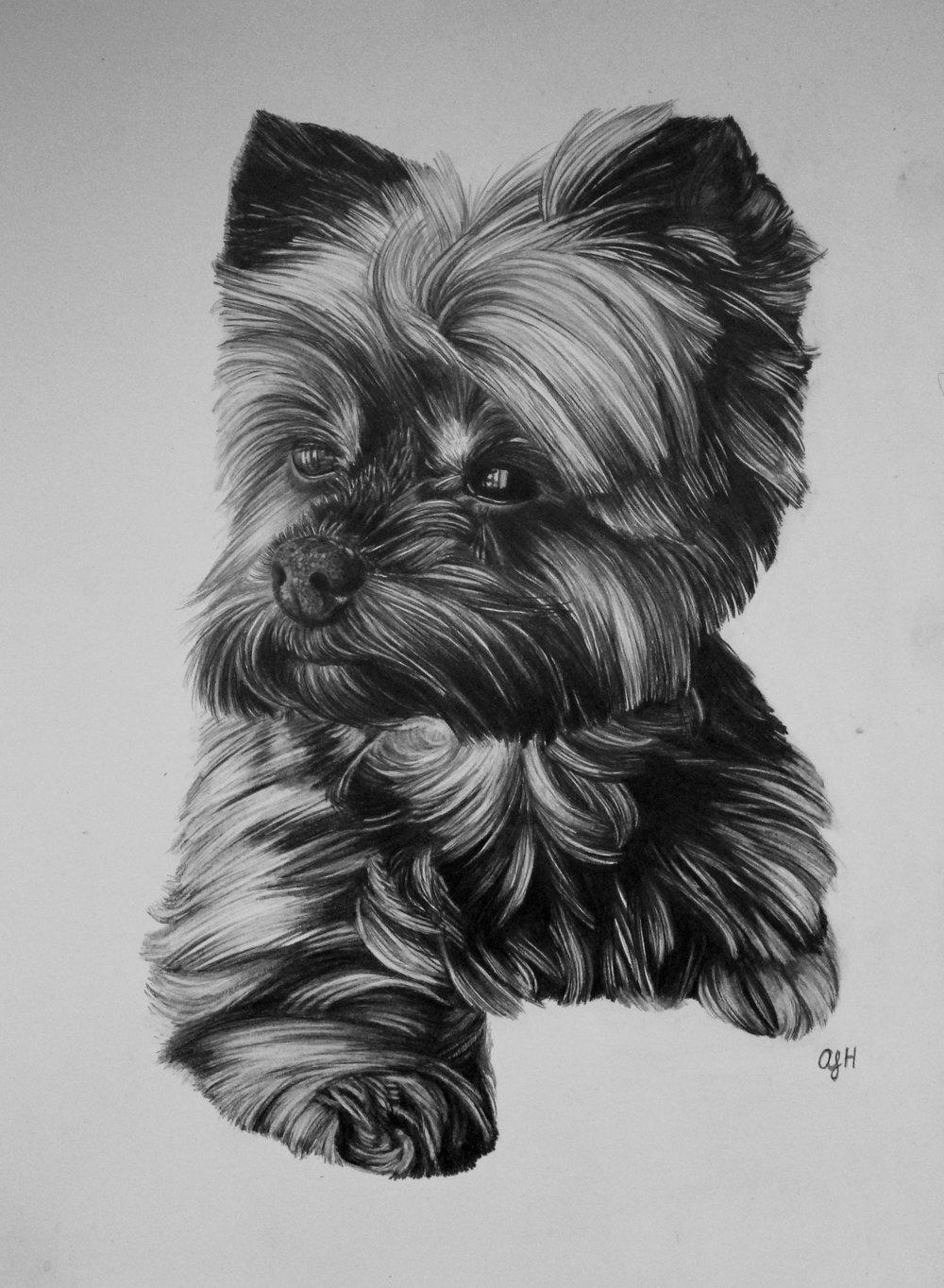 Twix, Yorkshire Terrier