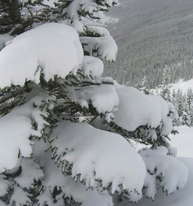 Powder laden pine trees abound