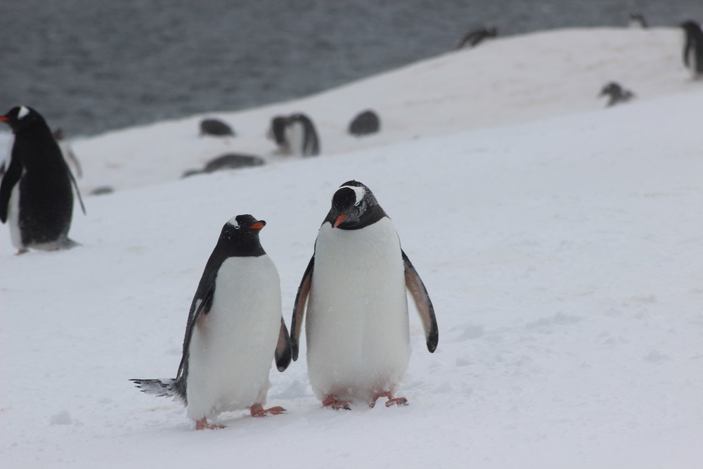 Penguins Dating on Port Lockeroy
