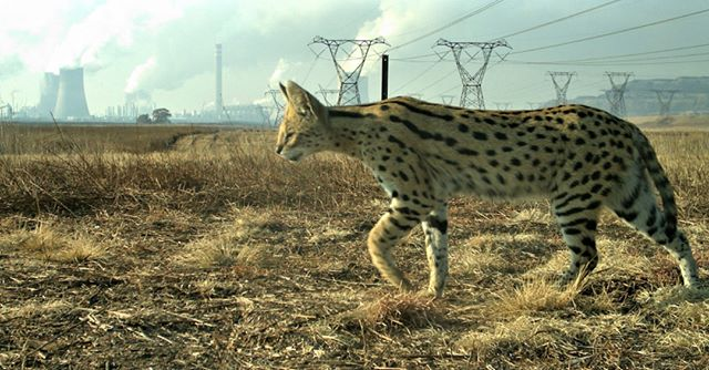 I wrote thing! Head over to http://bit.ly/secunda (clickable 🔗 in bio) to learn about my upcoming research on servals 😼 living in the shadow of the world's largest point source of carbon 💨