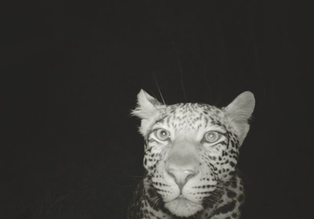 In case there isn't enough leopard in your day yet 🐆. We took this camera trap picture as part of our study on leopard population trends in the Soutpansberg mountains, South Africa. But sometimes it felt like the leopards were the ones watching us 👀. Would you like to see more camera trap pictures of the wildlife we photograph?