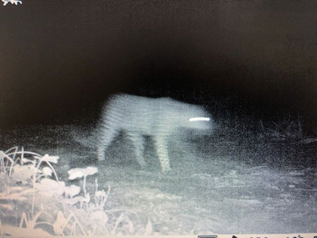 It's not exactly the best picture, but after living here for 2 years a leopard has finally been photographed near our house. 🐆 It's quite a change from living in the Soutpansberg Mountains, where we photographed leopards practically every day. But blurry or not, it's amazing to see them again. 📷 Riaan Cilliers