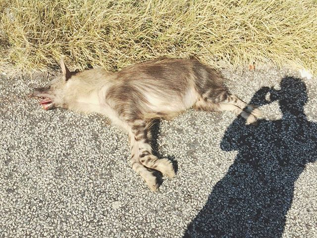 This brown hyaena was recently killed on the main road bordering Mapungubwe National Park, South Africa. The tail was removed - some people believe that if they burn the tail of a brown hyaena when they burgle a house, the occupants will not wake up & disturb the burglary. Brown hyaenas are endemic to Southern Africa, and in addition to their use in traditional medicine they are threatened by lethal control arising from human-wildlife conflict 📷 Quinten Knippin