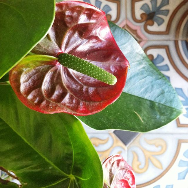 Have a fresh weekend with Anthurium Andreanum! ❤️🍃✨ #plants #eternalplants #anthuriumandreanum #loveplants #fresh #plant #design #flora #floraindoor
