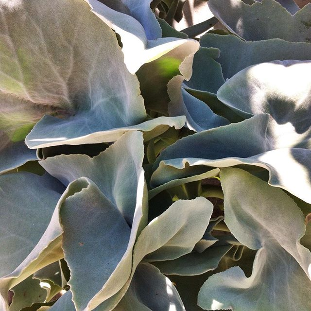 Have a good weekend with Kalanchoe Beharensis Drake plant! ✨🍃 #kalanchoebeharensisdrake #eternalplants #loveplants #fresh #plant #design #flora #floraindoor