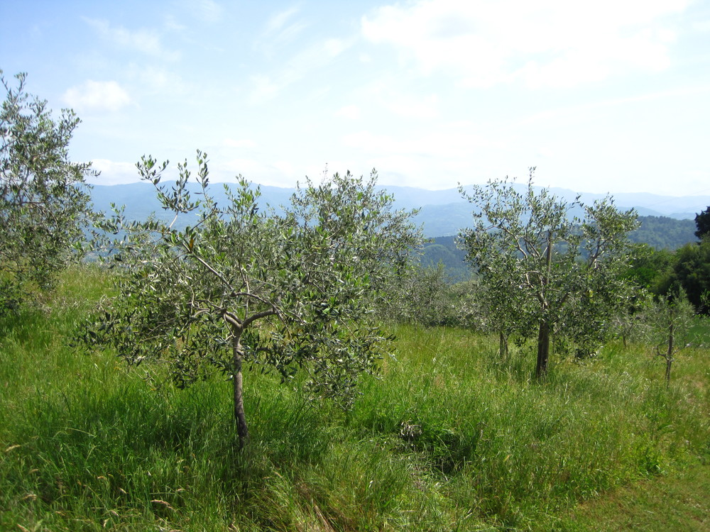 Olive tress at Villa Campestri. Varieties planted here include: leccino, frantoio, moraiolo and leccino del corno.