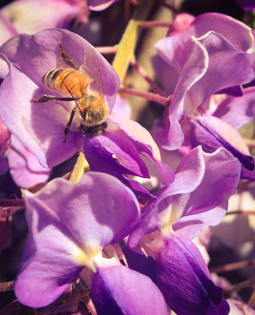 Wisteria and the bees