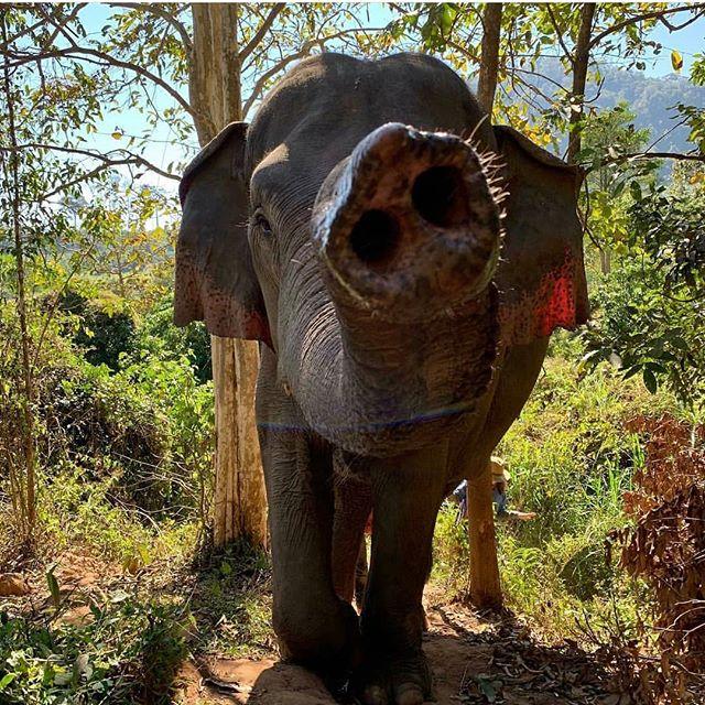 Trunks up! 🐘 -  Pic from the Save Elephant Foundation! #SaveElephantFoundation#ElephantWellness #ElephantSanctuary#ChiangMai#ElephantRescue#AsianElephant#SaddleOff#AsianElephantProjects#BeKindToElephants#EthicalTourism#ResponsibleTourism#NotEntertainers#Thailand#Thai#JoinTheHerd#ResponsibleTravel#Education#Family#ElephantLove