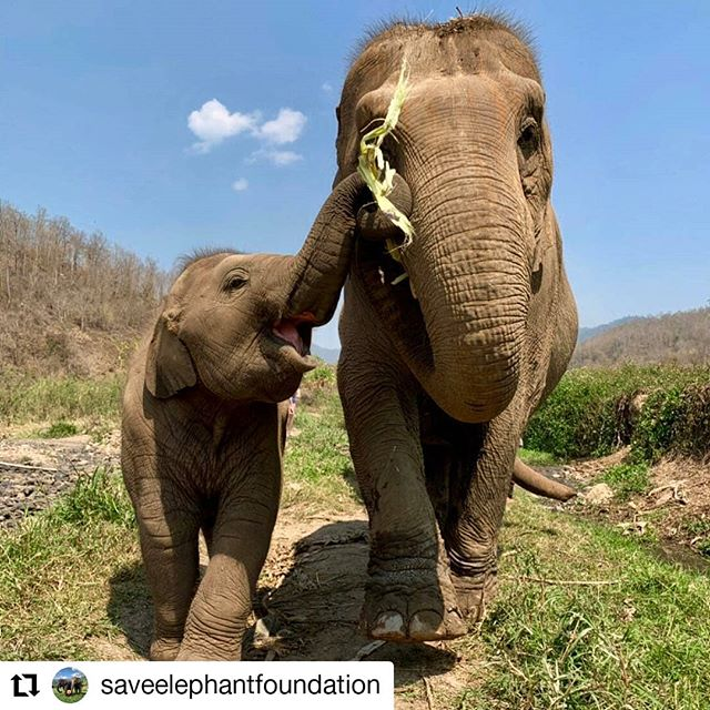 Mom look! 🐘 • • • • • • #Repost @saveelephantfoundation • • • • • • Happy National Thai Elephant Day!  Although everyday is Thai Elephant Day at Save Elephant Foundation we use this annual celebration of Thailand's National symbol as a way to reflect.  We celebrate progress but more importantly we focus on our continual work to save and protect this keystone species.  YOU have the power to support the movement towards ethical elephant tourism. Education will be the key to protecting the species, help us by educating your friends & family to travel with care and compassion.  Elephants are here with us, not for us. Be part of the solution!  #SaveElephantFoundation #NationalThaiElephantDay #BeKindToElephants #ThaiElephantDay  #CoExist  #ElephantSanctuary #ChiangMai #ElephantRescue #AsianElephant #SaddleOff #AsianElephantProjects #BeKindToElephants #EthicalTourism #ResponsibleTourism #NotEntertainers #Thailand #Thai  #JoinTheHerd #ResponsibleTravel #Education #Vegan #Family #Love #ElephantLove #Follow #ElephantsAreLikeUs