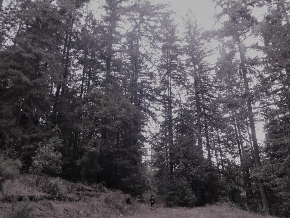 tall trees (2).JPG