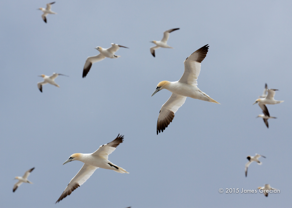 Gannets in flight.jpg