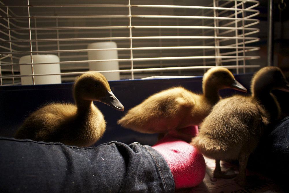 Ducks 3.jpg