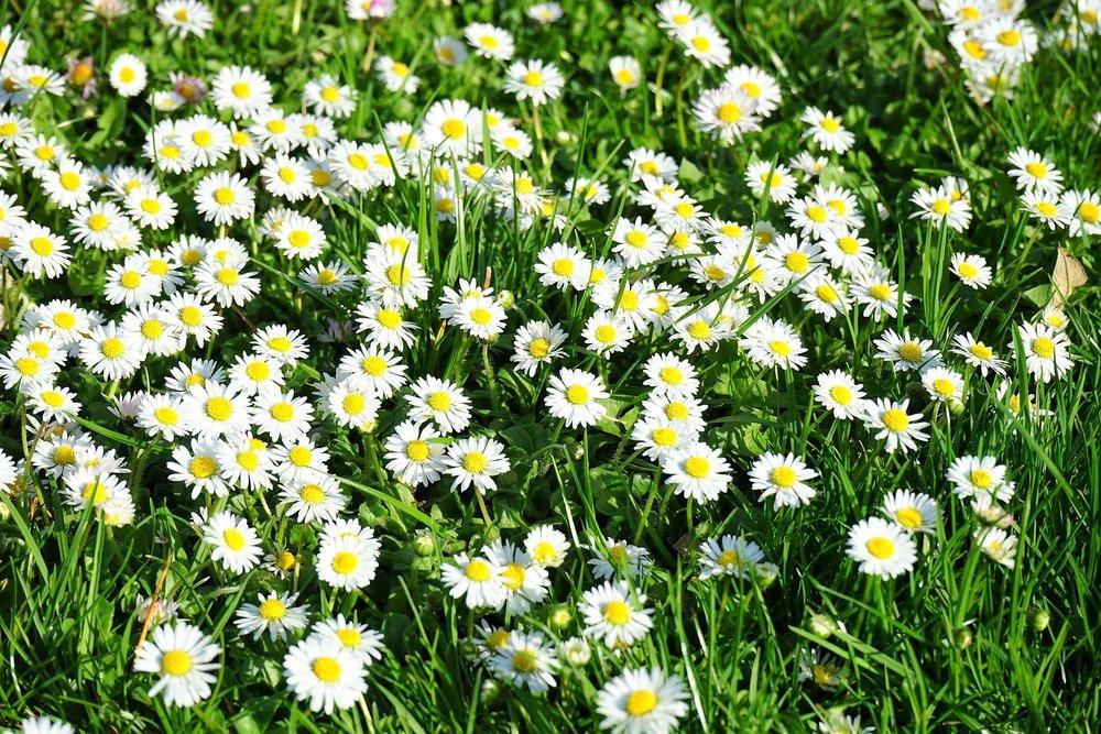 daisy-324398_1920 (2).jpg