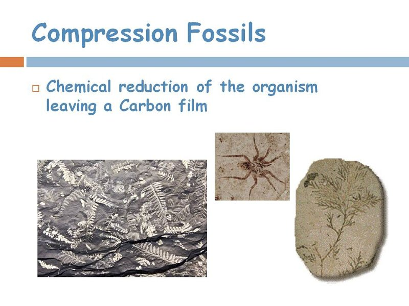 11compression fossil.jpg