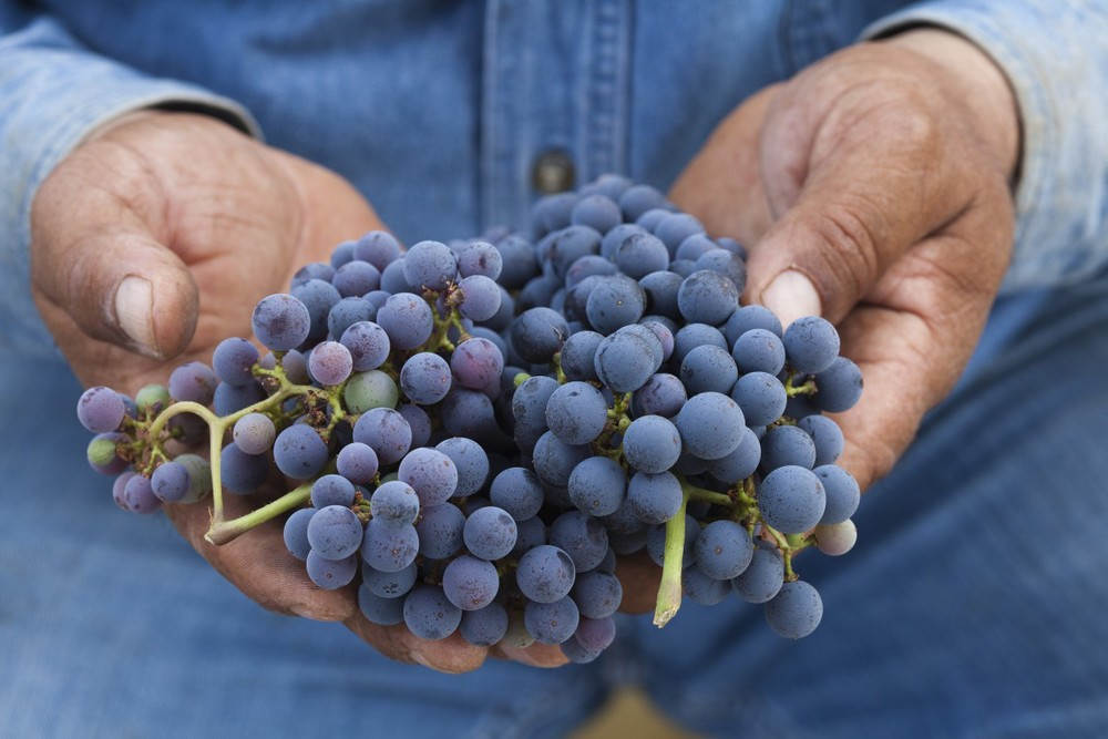 grapeshands.jpg
