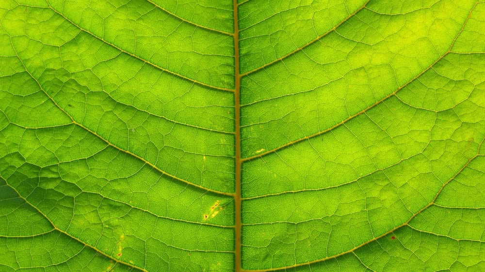 The photosynthesis factory that provides energy to make wood.