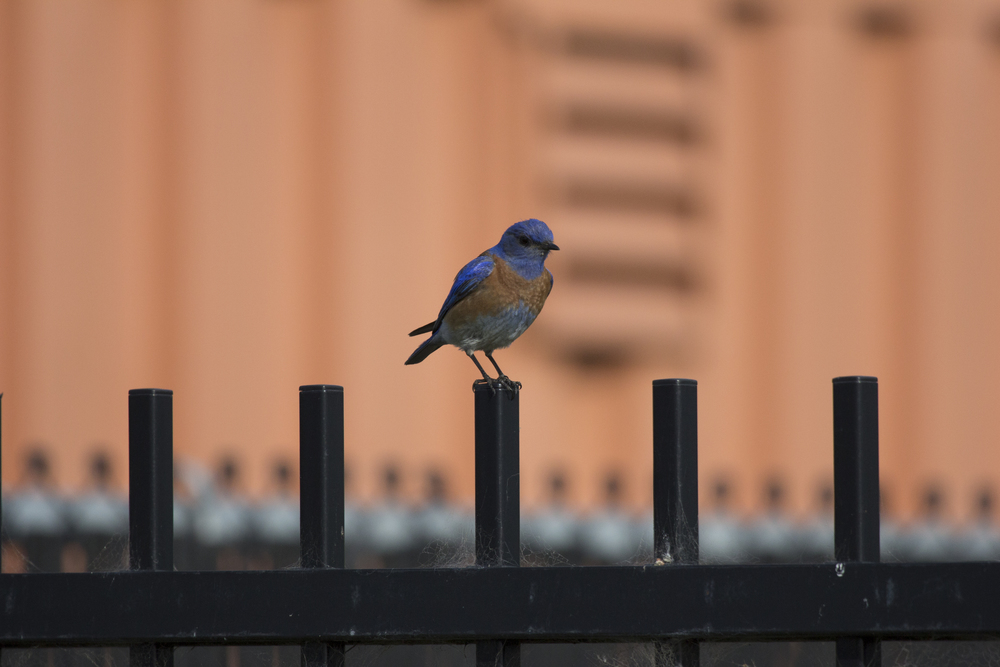BLUEBIRD ON URBAN FENCE