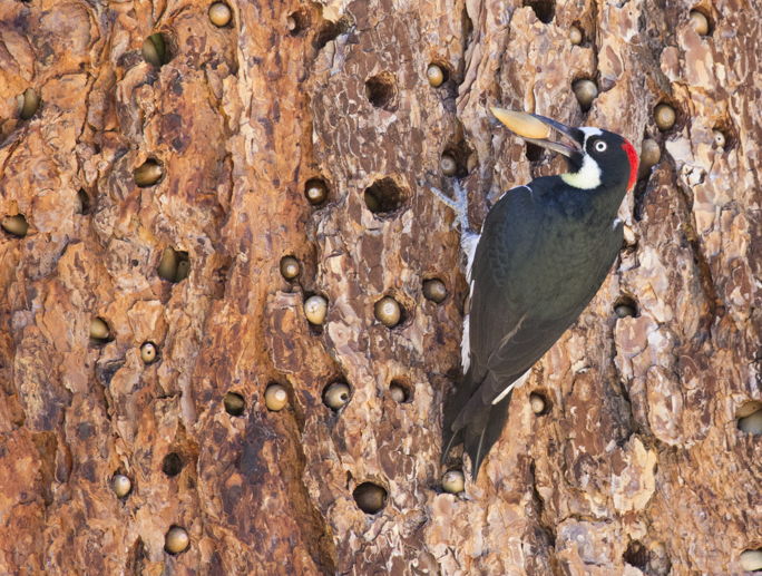 Acorn Woodpecker, Pinnacles National Park
