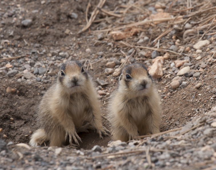 Prairie dog pups, photo: Elaine Miller Bond