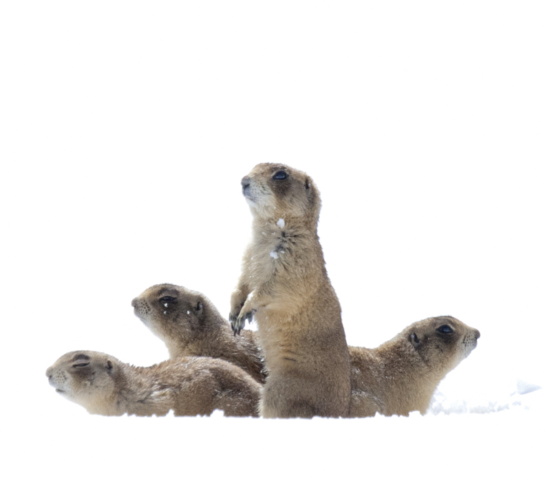 photo: Elaine Miller Bond prairie dog pups from the book, THE UTAH PRAIRIE DOG.