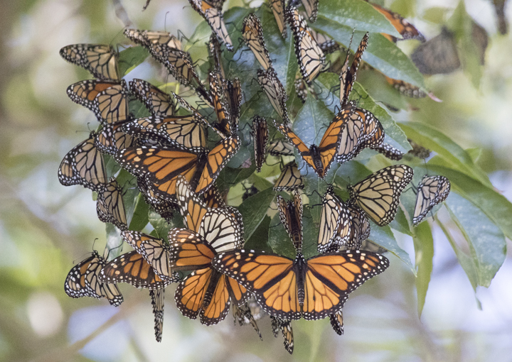 Cluster of monarch butterflies, photo: Elaine Miller Bond