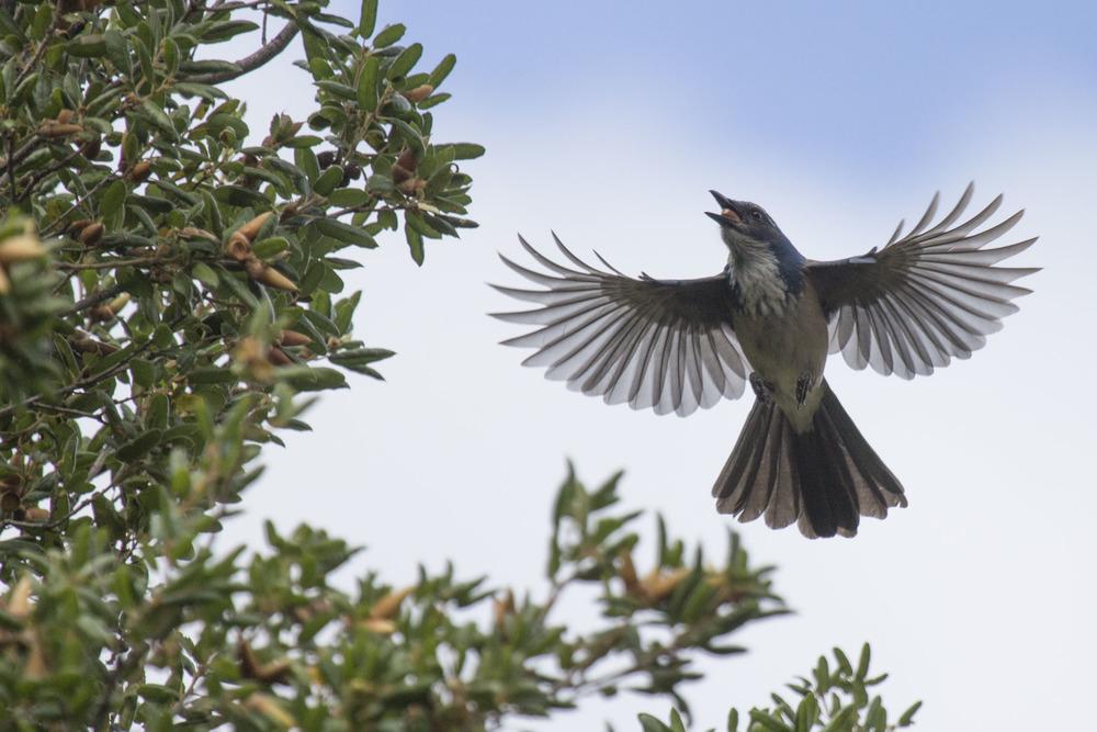 Scrub Jay, Pinnacles National Park