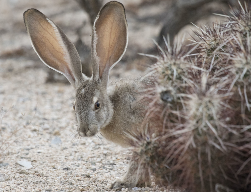 Jackrabbit, Joshua Tree National Park