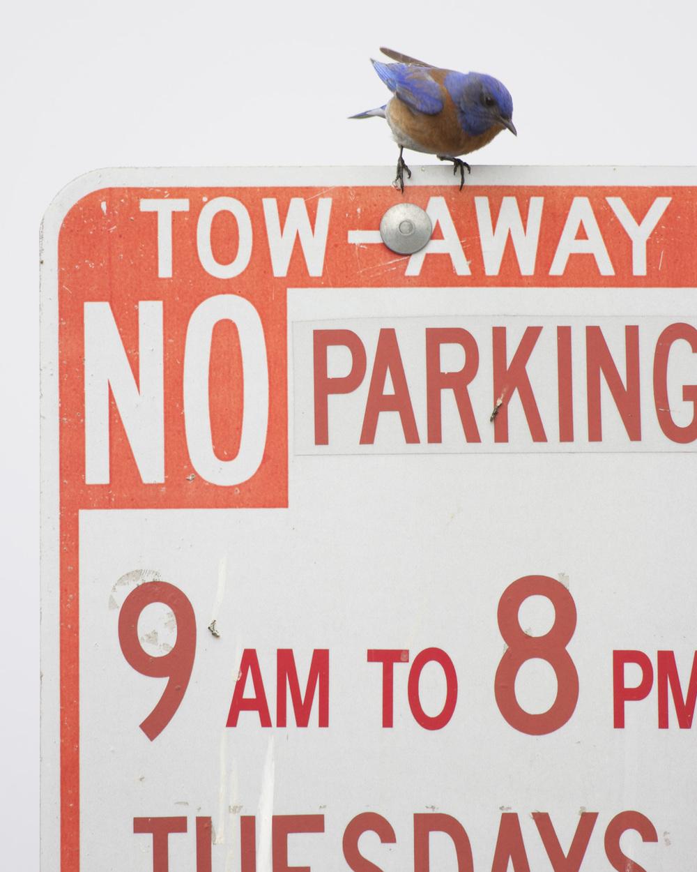 Western Bluebird, Berkeley, CA