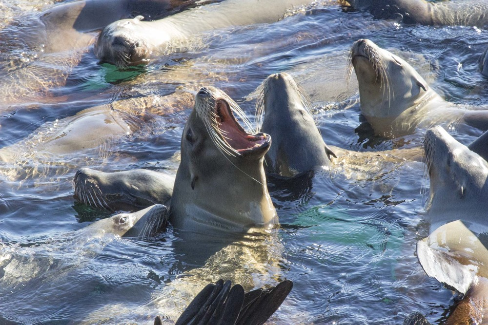 California Sea Lions, Santa Cruz, CA
