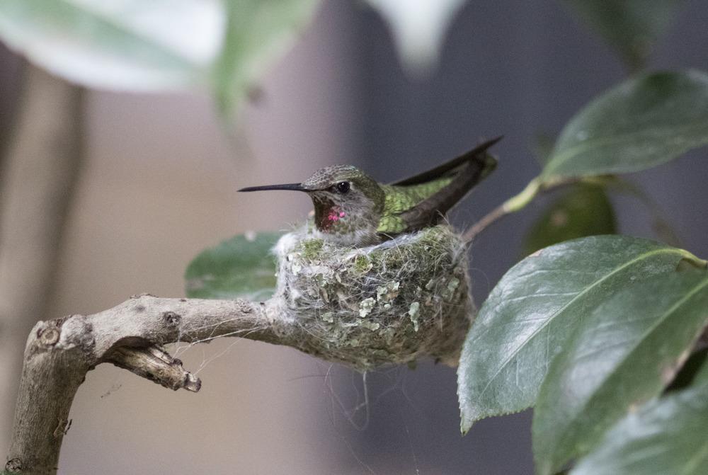 Anna's Hummingbird, Oakland, CA