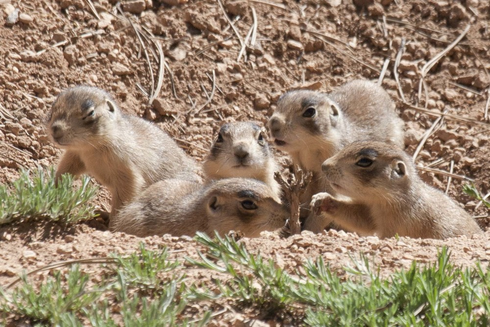 Utah Prairie Dogs, Bryce Canyon National Park