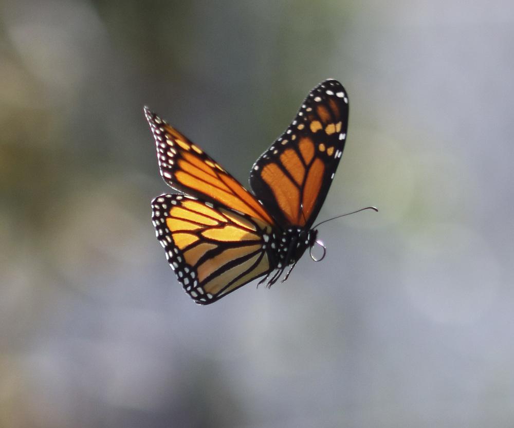 Butterfly: FLUTTER