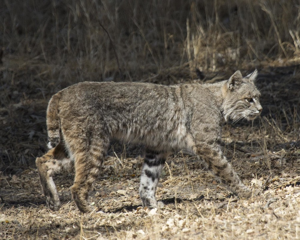 Bobcat: PROWL