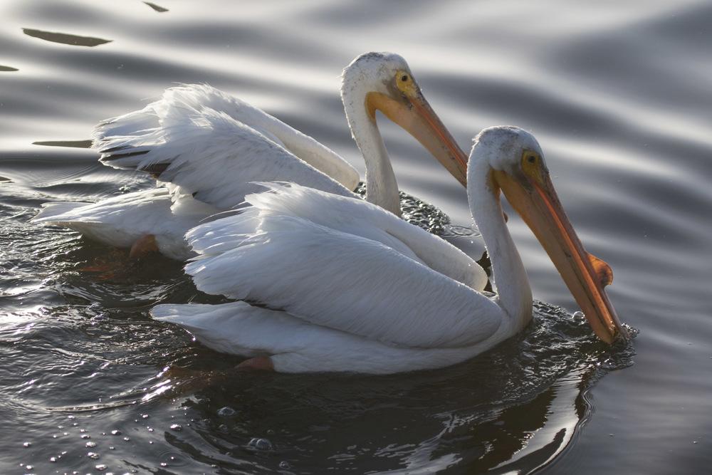 White Pelicans, Lake Merritt, Oakland