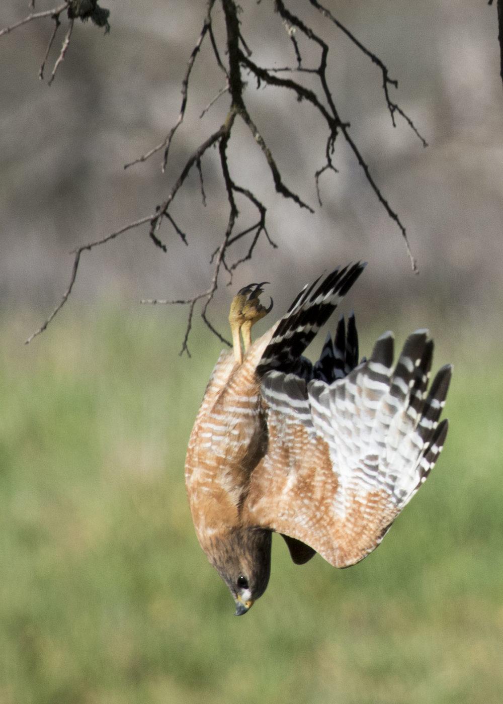 Red-Shouldered Hawk, Pinnacles National Park