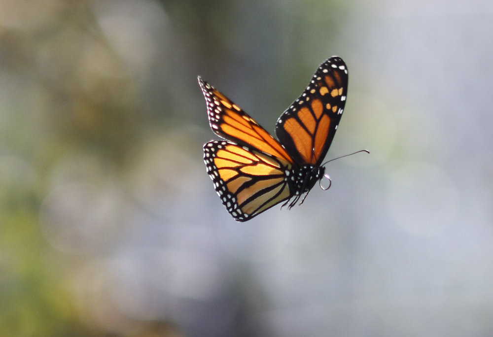 Monarch Butterfly, Santa Monica, CA