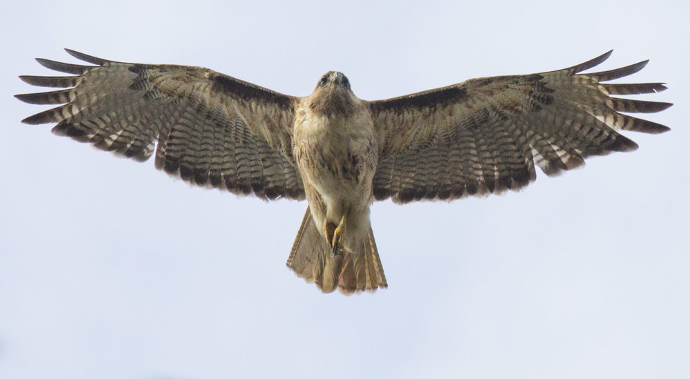 red-tailed hawk, photo by Elaine Miller Bond
