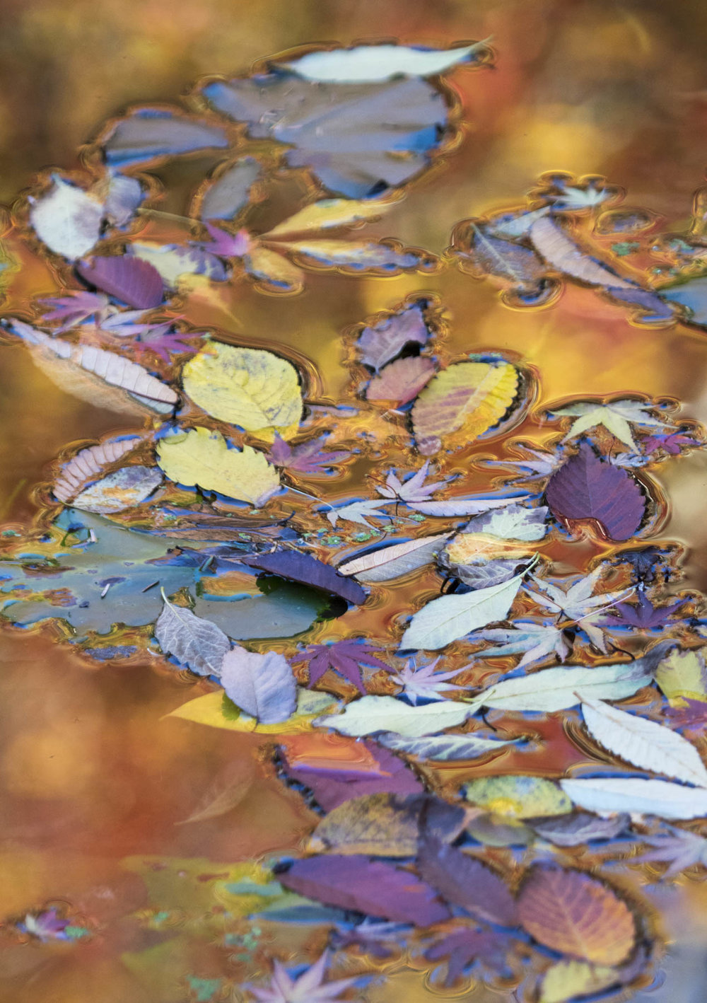Leaves on a Pond, UC Botanical Garden at Berkeley