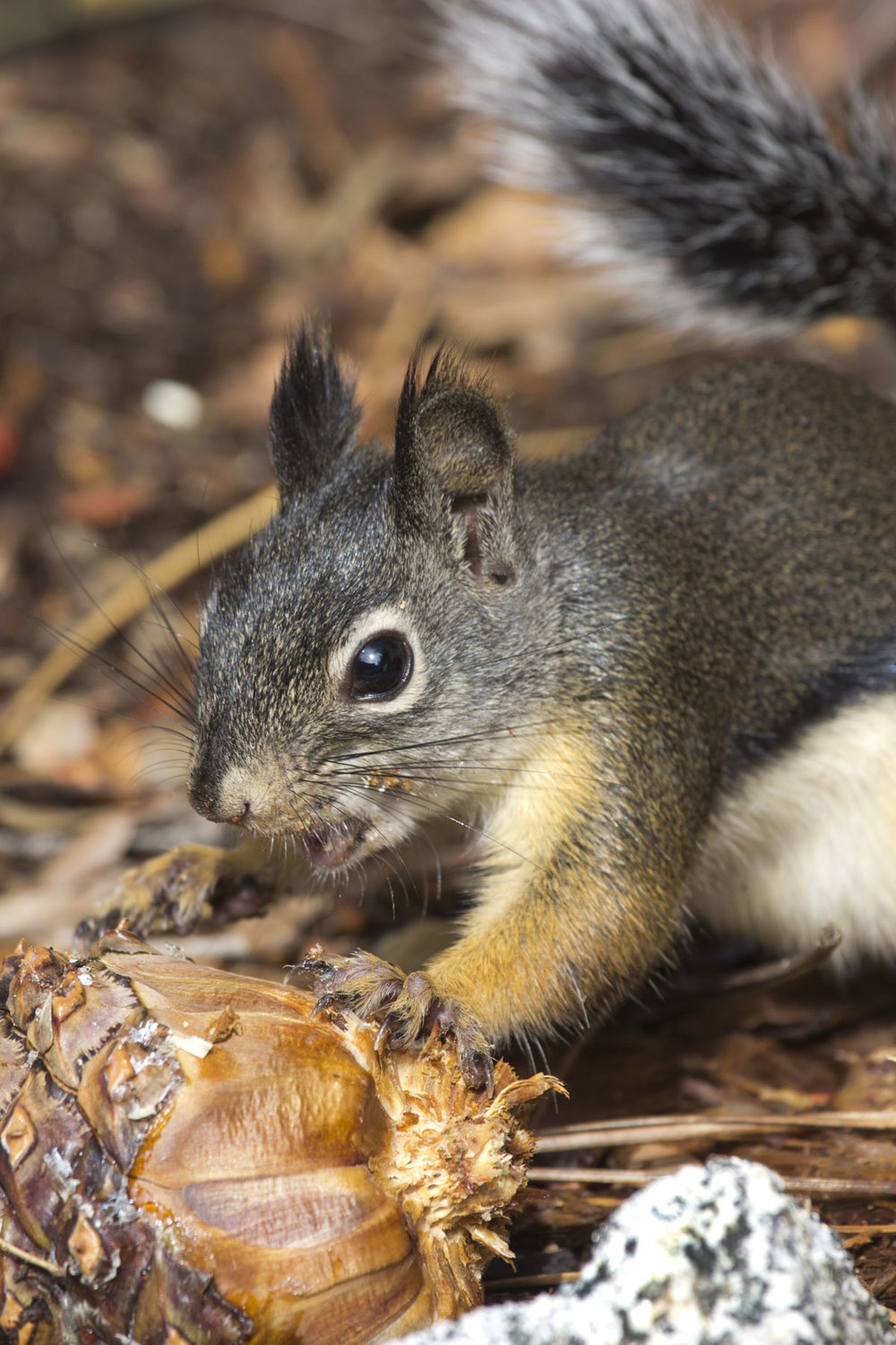 Douglas Squirrel, South Lake Tahoe