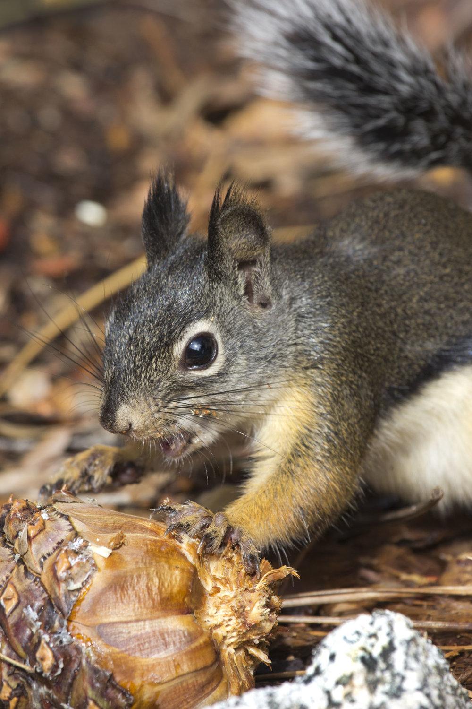 Douglas Squirrel, South Lake Tahoe
