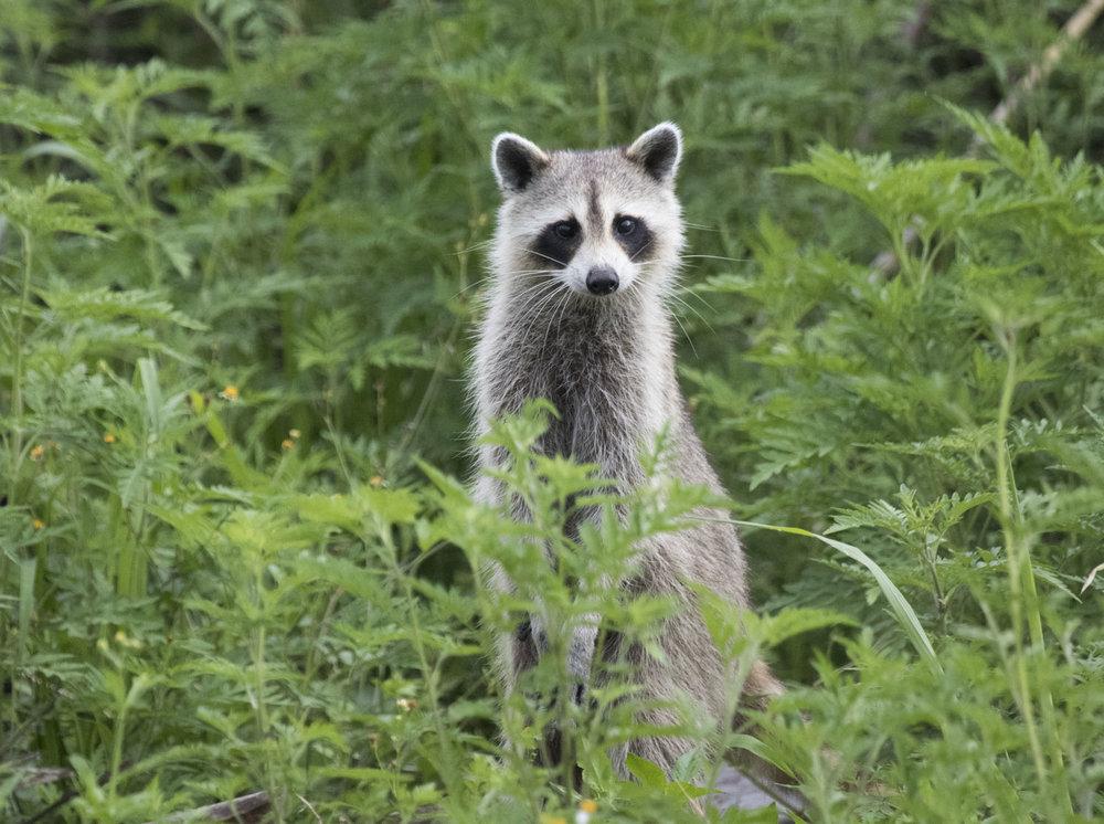 Raccoon, Weston, FL
