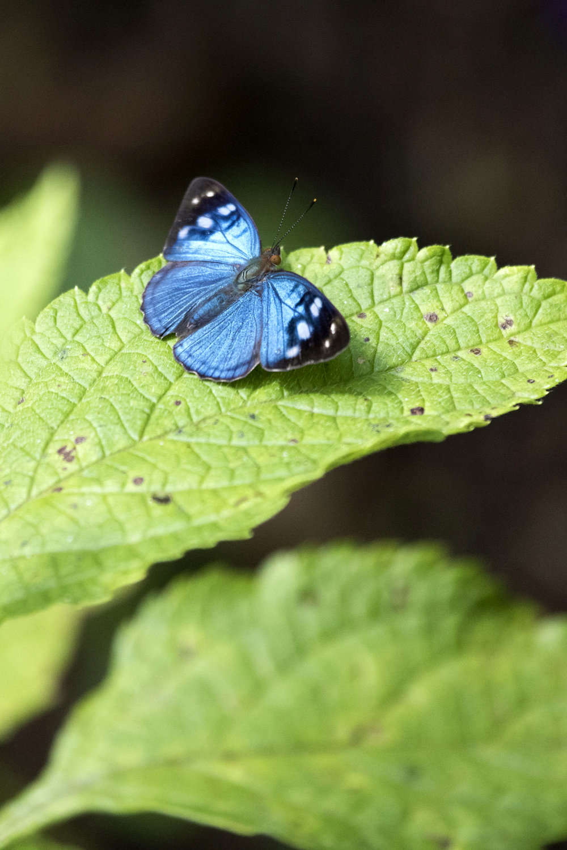 Butterfly, Puntarenas, Costa Rica