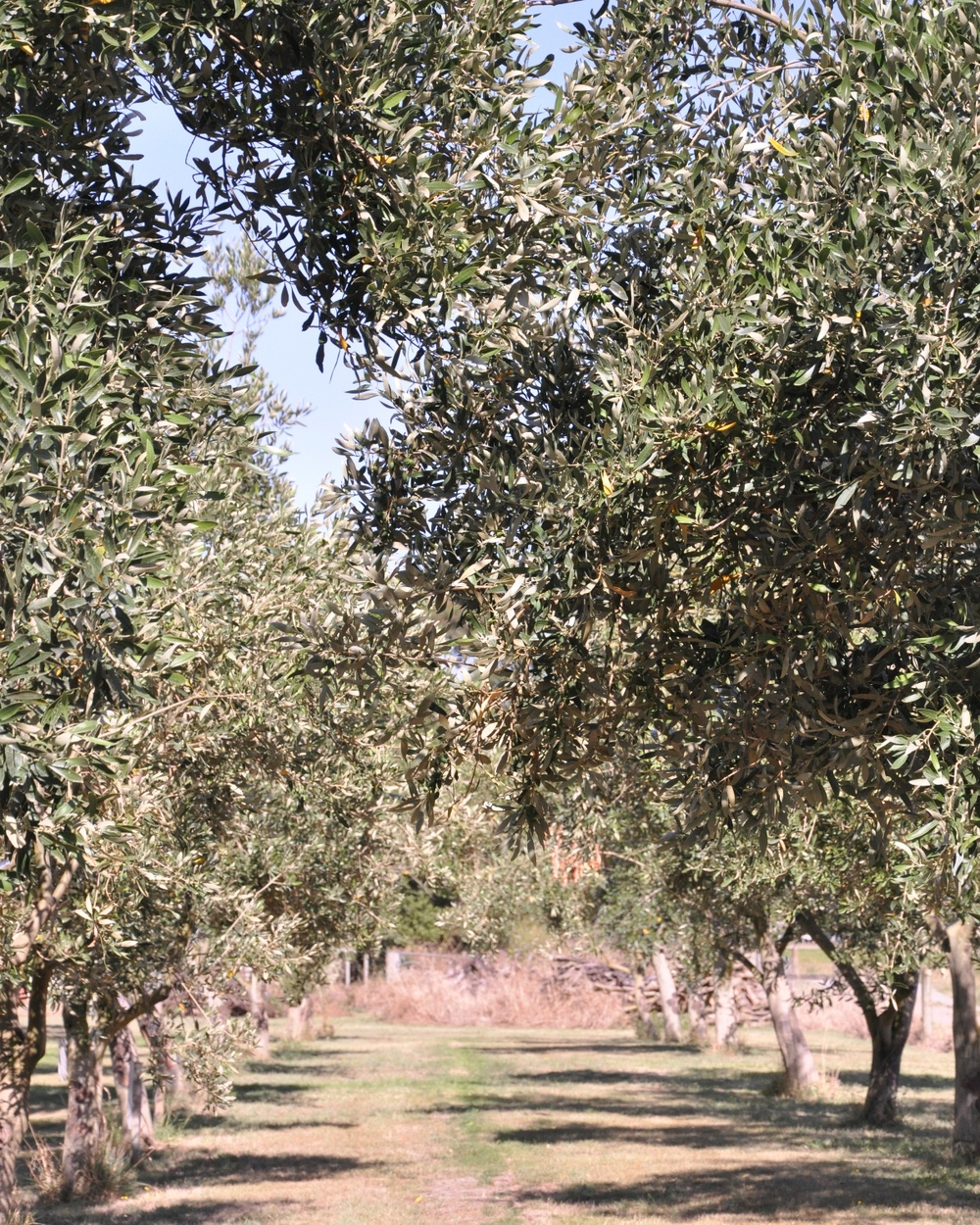 Olive trees at the Olivery