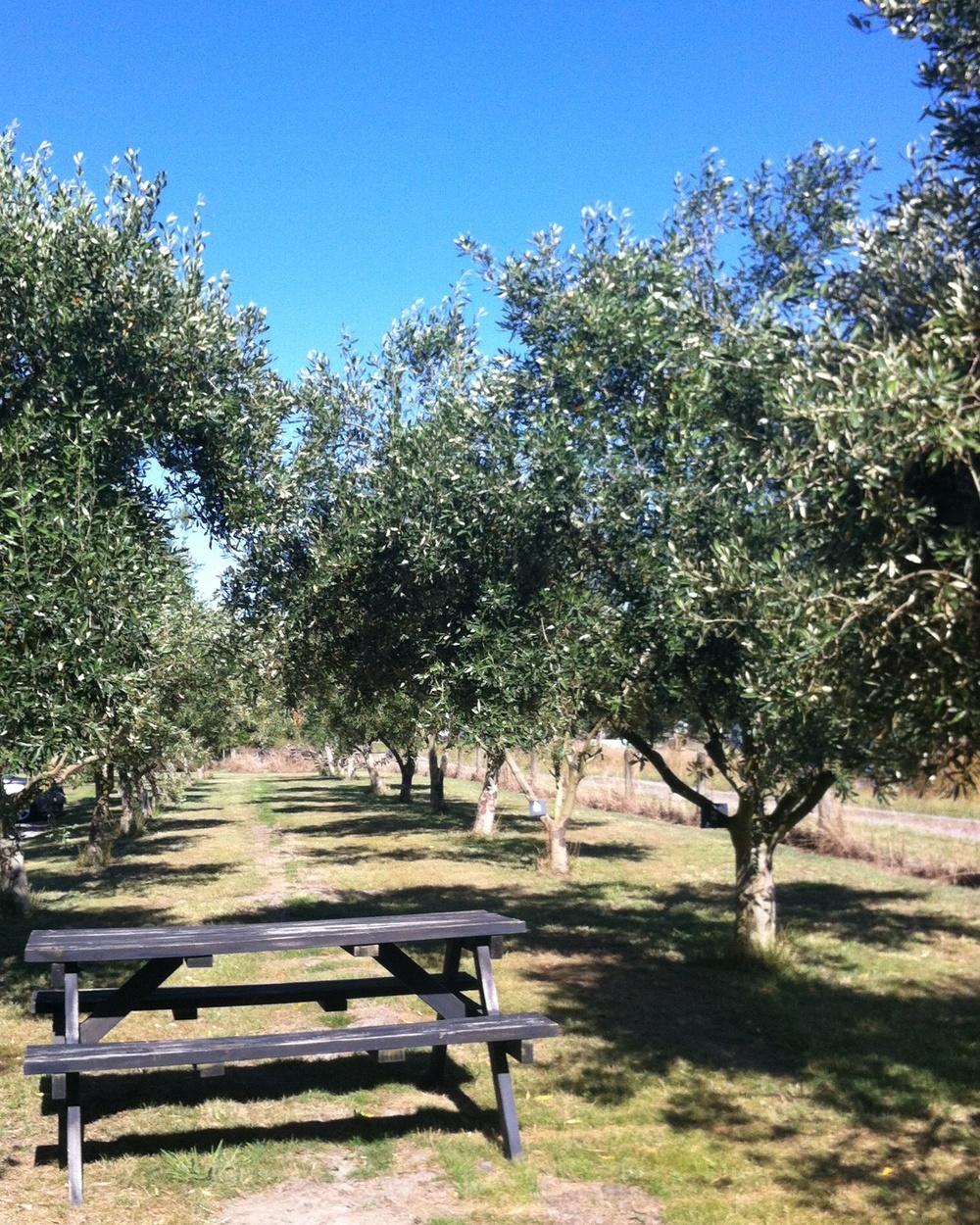 Telegraph Hill Olive Trees 2.jpg