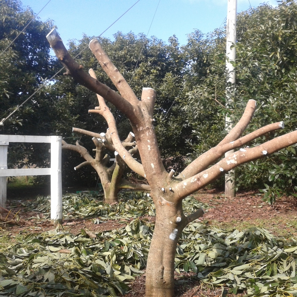 Trees hard pruned back, once avocados were picked