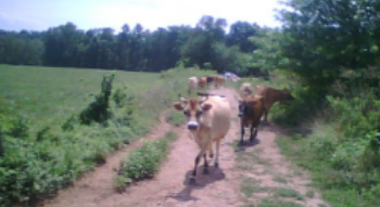 cows coming in from pasture.JPG
