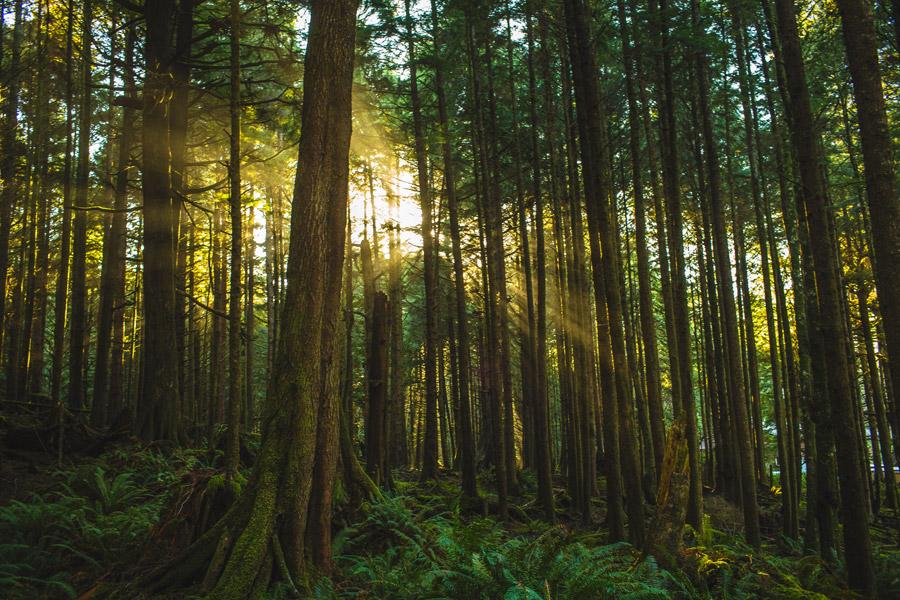 beautiful light through trees on the coast of oregon