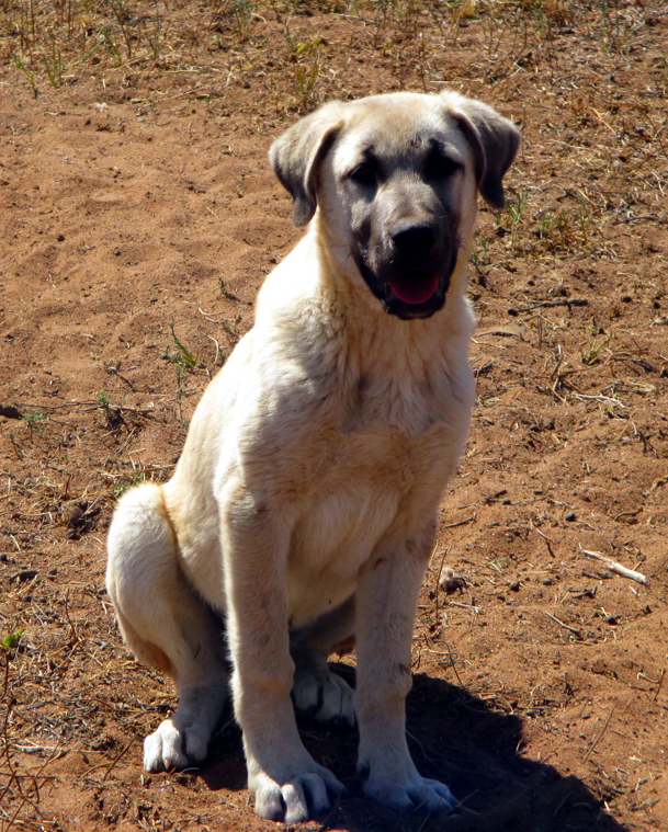 Anatolian puppy at 16 weeks old and ready to move into a small camp with her 5 ewes and 5 lambs.
