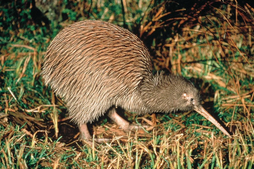 A Evening Kiwi-Safari - This popular experience takes you along the native bush walks throughout the property, and gives you a rare chance for a close-up glimpse of our national bird.